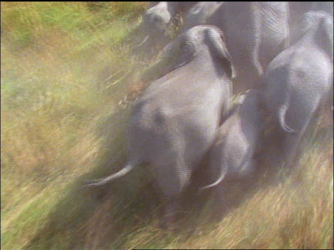AERIAL elephant families running thru grass away from camera