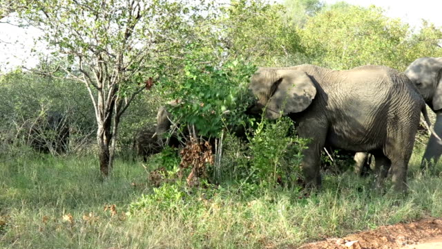 elephant family eating tree in kruger wildlife reserve - herbivorous stock videos & royalty-free footage