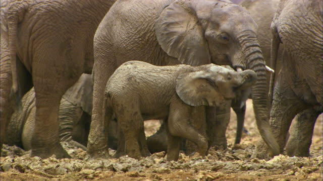 elephant family - young animal stock videos & royalty-free footage