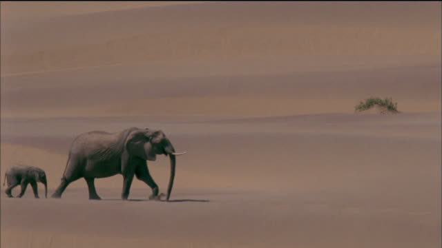 vídeos de stock, filmes e b-roll de elephant family walk through desert available in hd. - elefante