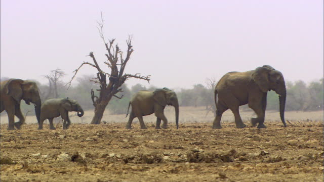 elephant family walking in a line - young animal stock videos & royalty-free footage