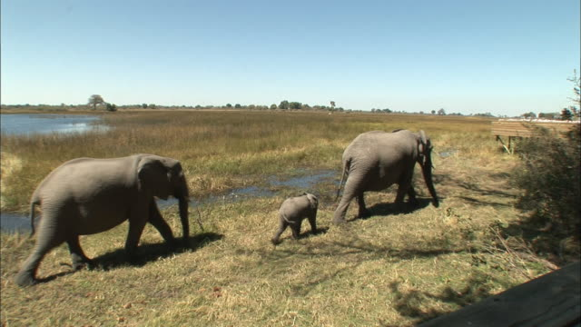vídeos y material grabado en eventos de stock de ws elephant family walking through grass/ botswana - grupo pequeño de animales
