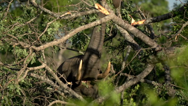 Elephant feeding and putting Marula leaves into mouth, Kruger National Park, South Africa