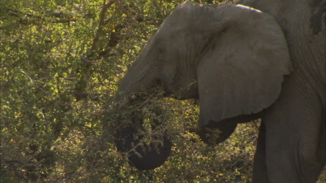 cu, elephant (elephantidae) feeding at tree, headshot, okavango delta, botswana - dragon tree stock videos & royalty-free footage