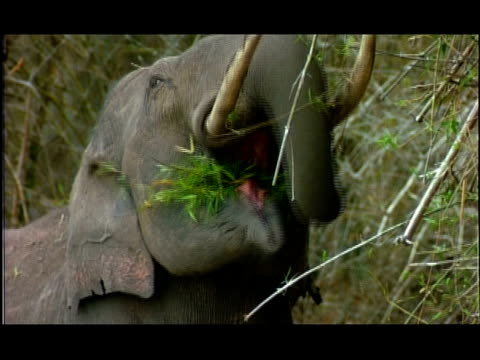 stockvideo's en b-roll-footage met elephant (elephas maximus) feeding from trees; short sequence, nagarahole, southern india - neus van een dier