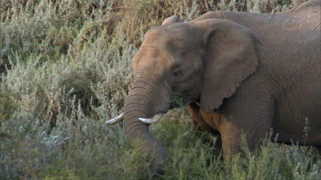 Elephant (Loxodonta africana) feeds on frosty tree heather (Erica arborea), Aberdare, Kenya