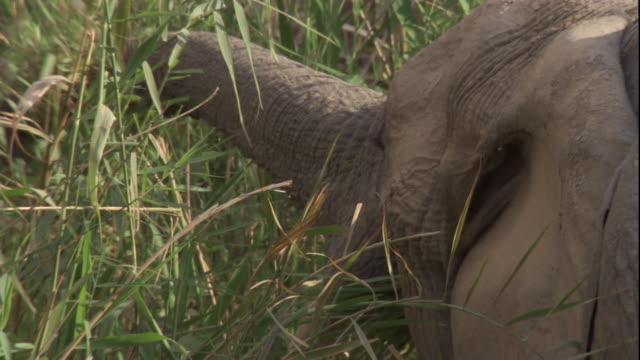 vídeos y material grabado en eventos de stock de elephant feeds on long grass, skeleton coast, namibia available in hd. - nariz de animal