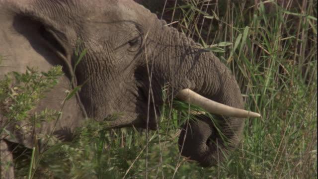 vídeos y material grabado en eventos de stock de elephant feeds on long grass, skeleton coast, namibia. available in hd. - nariz de animal