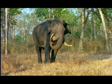 elephant (elephas maximus) foraging on dry grass, nagarahole, southern india - foraging stock videos & royalty-free footage