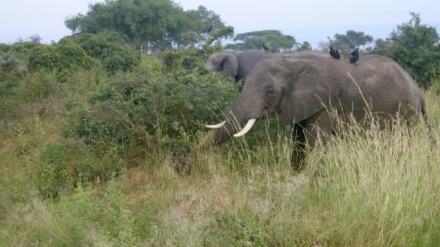 elefant weiden auf rasen - grasen stock-videos und b-roll-filmmaterial