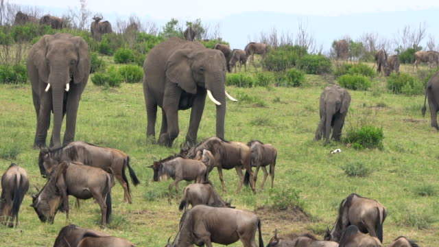 elephant group in the masai mara - wildlife reserve stock videos & royalty-free footage
