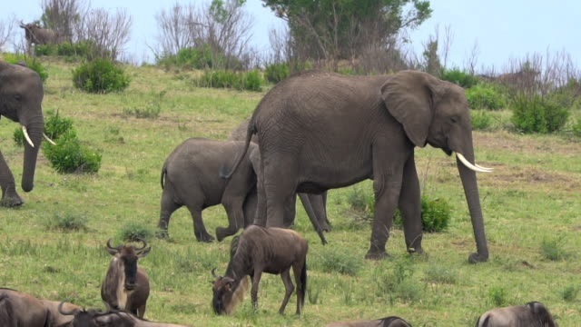 elephant group in the masai mara - animal nose stock videos & royalty-free footage