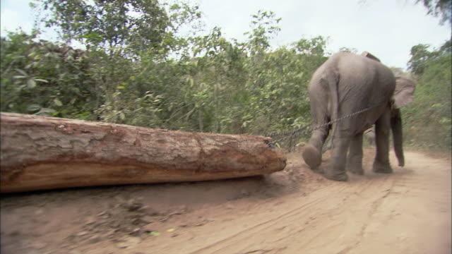 stockvideo's en b-roll-footage met ts rat pov elephant hauling log along dirt road, thailand - boomstam