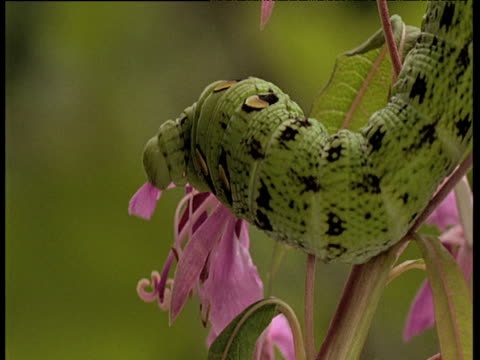 vídeos de stock, filmes e b-roll de elephant hawk moth caterpillar nibbling on petal of pink flower, uk - lagarta