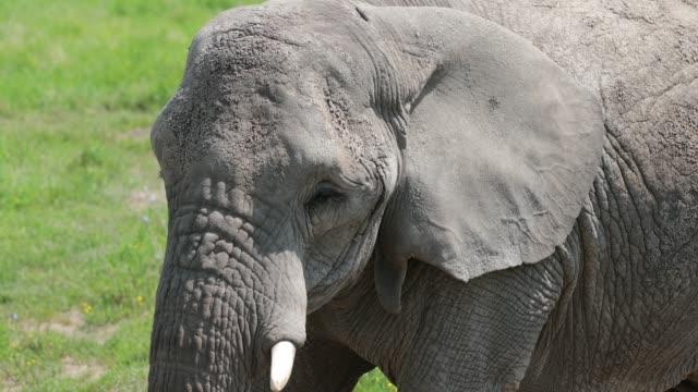elephant head close up - elephant stock videos & royalty-free footage