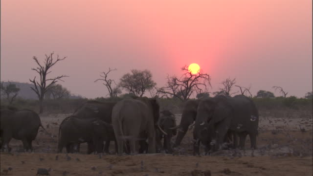 elephant herd at waterhole at sunset, botswana - 厚皮動物点の映像素材/bロール