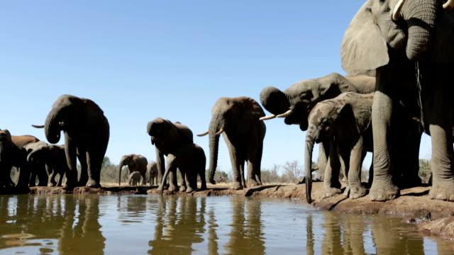 elephant herd drinking at waterhole in mashatu game reserve.botswana - waterhole stock videos & royalty-free footage