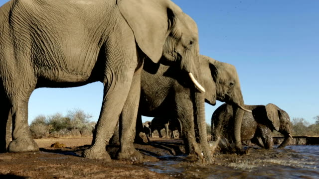 Elephant herd drinking at waterhole in Mashatu game reserve.Botswana