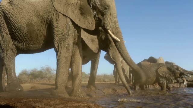 vidéos et rushes de elephant herd drinking at waterhole in mashatu game reserve.botswana - plan d'eau