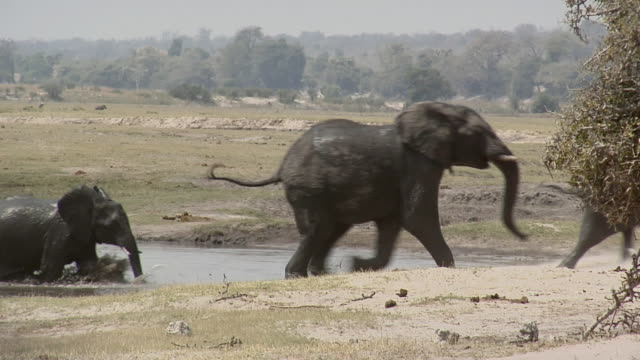 SLO MO WS ZI PAN Elephant herd leaving waterhole / Kasane, Botswana