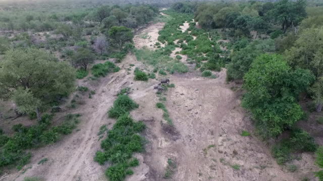 elephant herd moving through dry woodlands next to dry riverbed in kruger national park, south africa - 自然保護区点の映像素材/bロール