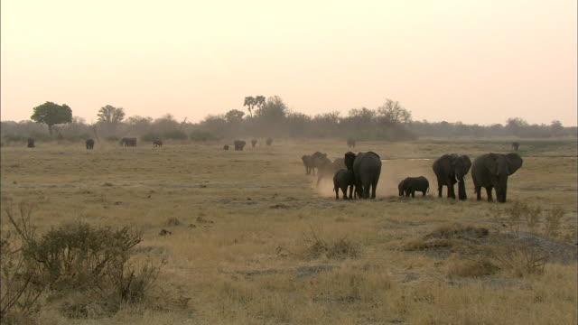 elephant herd through the cloud of dust in okavango delta grassland - arid stock videos & royalty-free footage