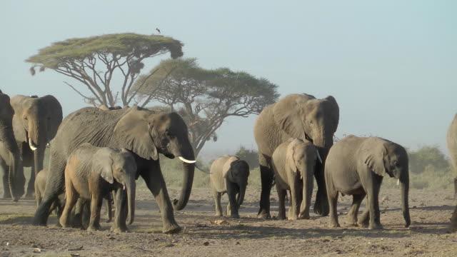 stockvideo's en b-roll-footage met elephant herd - kudde