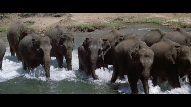 ms elephant herd walking fast through large stream - レターボックス点の映像素材/bロール