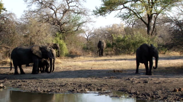 Elephant herd walking to dam to drink water/ Kruger National Park/ South Africa