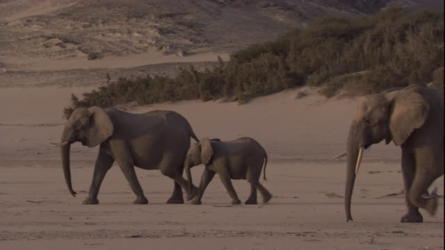 elephant herd walks in desert, skeleton coast, namibia. available in hd. - elephant stock videos & royalty-free footage