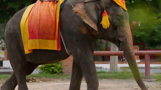 elefanten in thailand ayutthaya. - thailändische kultur stock-videos und b-roll-filmmaterial