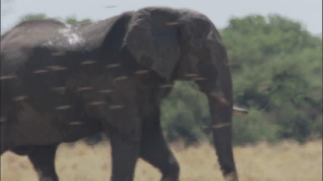 elephant in heat haze, botswana - 厚皮動物点の映像素材/bロール