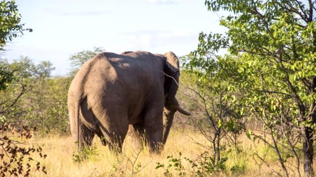 vídeos y material grabado en eventos de stock de ls elefante en namibia savannah - área silvestre