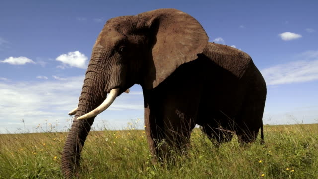 elephant in serengeti - grazing stock videos & royalty-free footage