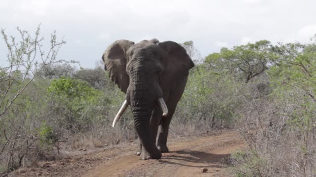 elephant in south africa - male animal stock videos & royalty-free footage