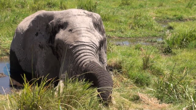 cu elephant in swamps eating grass at amboseli national park audio / amboseli, rift valley, kenya - komplett stock-videos und b-roll-filmmaterial