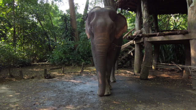 elephant in the zoo in kanchanaburi - chain stock videos & royalty-free footage