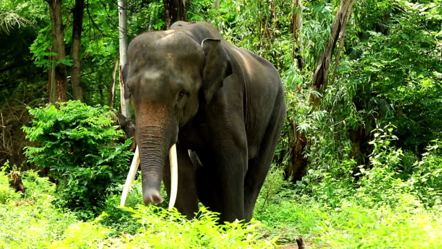elephant in wilderness area - wilderness area stock videos & royalty-free footage