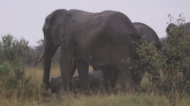 stockvideo's en b-roll-footage met  ms elephant laying  in mud at rain / tanzania - kleine groep dieren