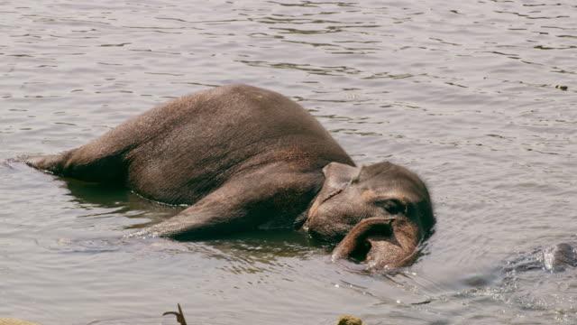 MS Elephant laying in water,Sri Lanka