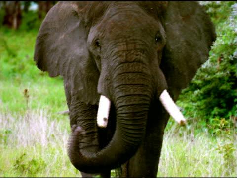 elephant looks at, and walks towards camera in serengeti national park, tanzania - naso di animale video stock e b–roll