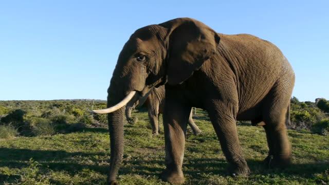 elephant male - animal teeth stock videos & royalty-free footage