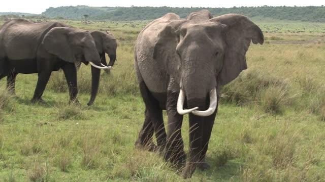Elephant matriarch watches us guardedly, Masai Mara, Kenya
