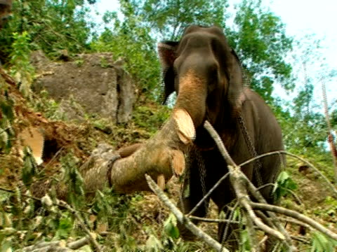 ms elephant moving tree trunk down hillside - tree trunk stock videos & royalty-free footage