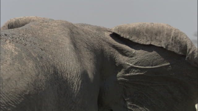 elephant mud bathes in waterhole, botswana - flapping wings stock videos & royalty-free footage