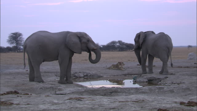 elephant occupying waterhole and lioness watching it - dry stock videos & royalty-free footage