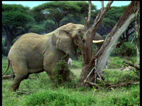 elephant on grassy area pushes tree trunk to the ground as zebra sit in background - 姿勢をとる点の映像素材/bロール