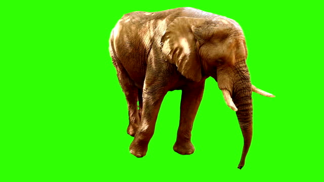 elephant on green screen 2 - green background stock videos & royalty-free footage