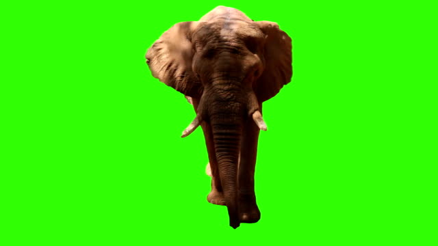elephant on green screen