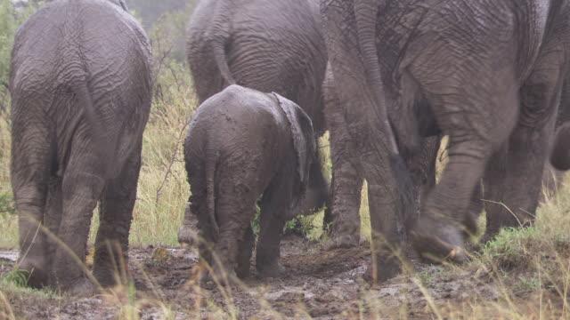 ms zo ts elephant playing in mud / tanzania - gruppo medio di animali video stock e b–roll